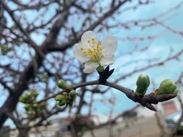 プルーンの花